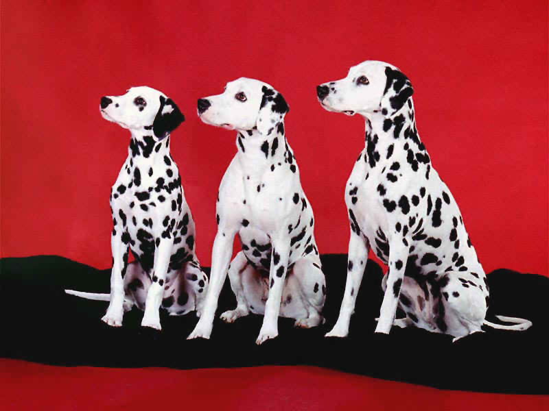dalmations_on_red.jpg (52662 bytes)